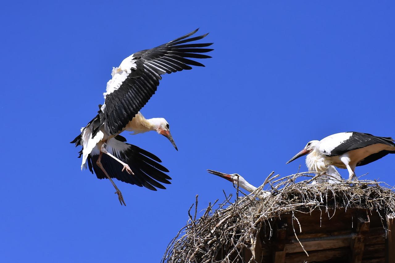 Ooievaar bij nest met jongen